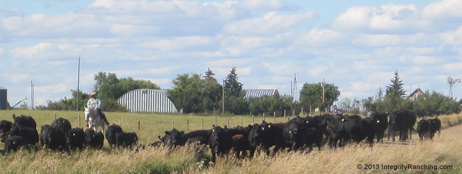 Integrity Ranching Angus cattle