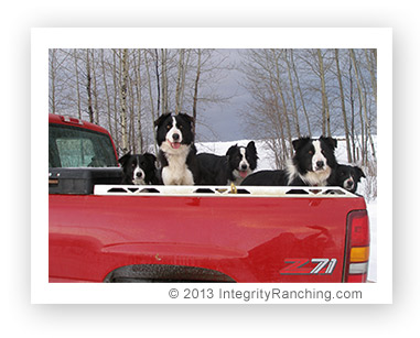 Integrity Ranching stock dogs