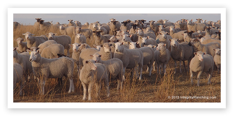 Cheviot Sheep at Integrity Ranching