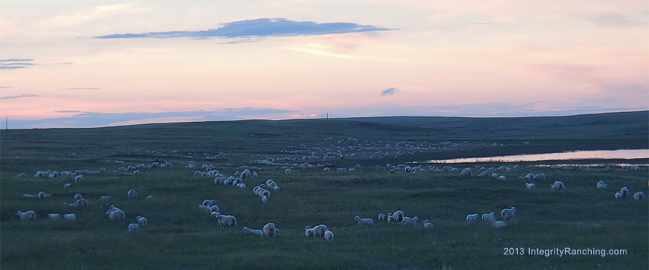 Cheviot Sheep at dawn