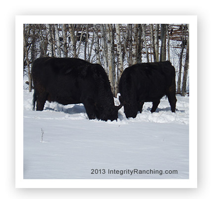 Cattle Feeding in Winter